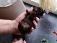 klein moppy,1 dag oud