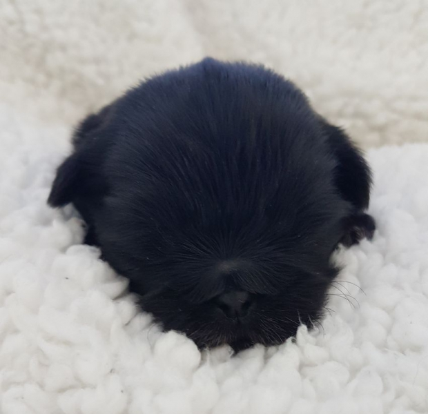 Black Berry From Color Of Life, zwart, reutje 15 dagen