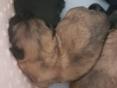 Pupjes 3 weken oud