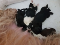 4 Valentijn pupjes geboren , 2 teefjes, en 2 reutjes